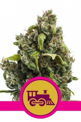 Candy Kush (Express Fast Version)
